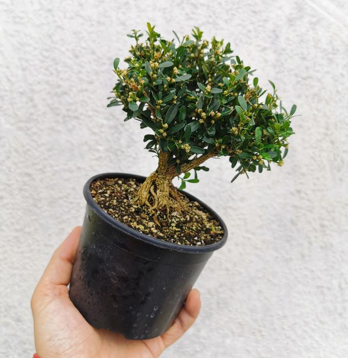 Small-Leaf Boxwood