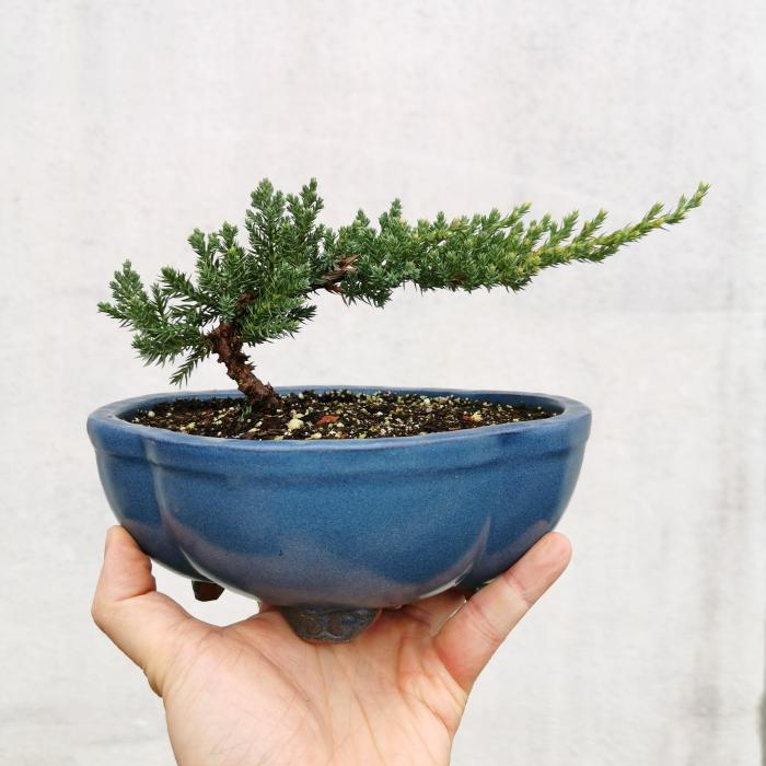 "Juniper Bonsai ""A"""