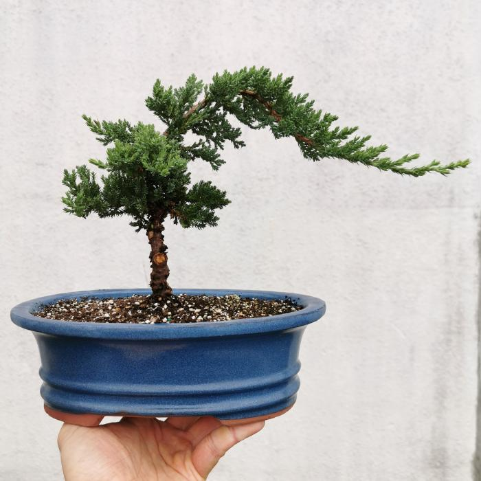 "Juniper Bonsai ""B"""