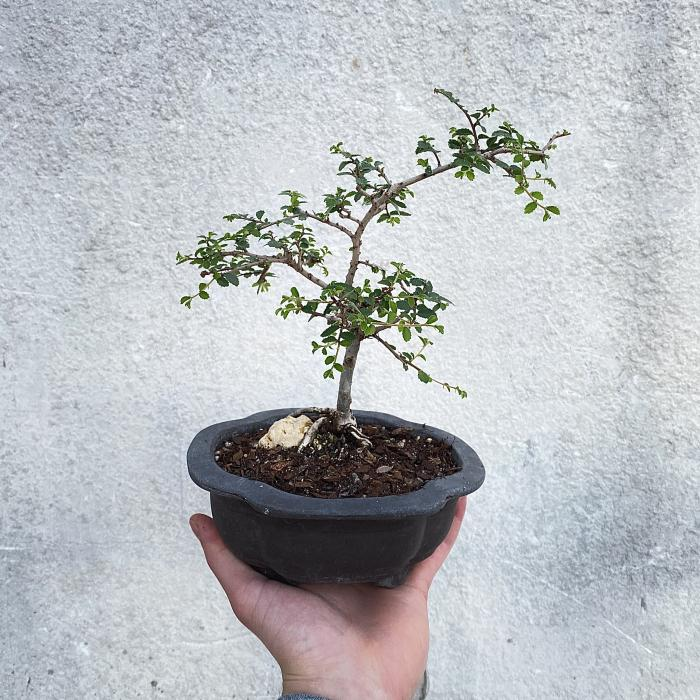 "Chinese Elm Bonsai ""J"""