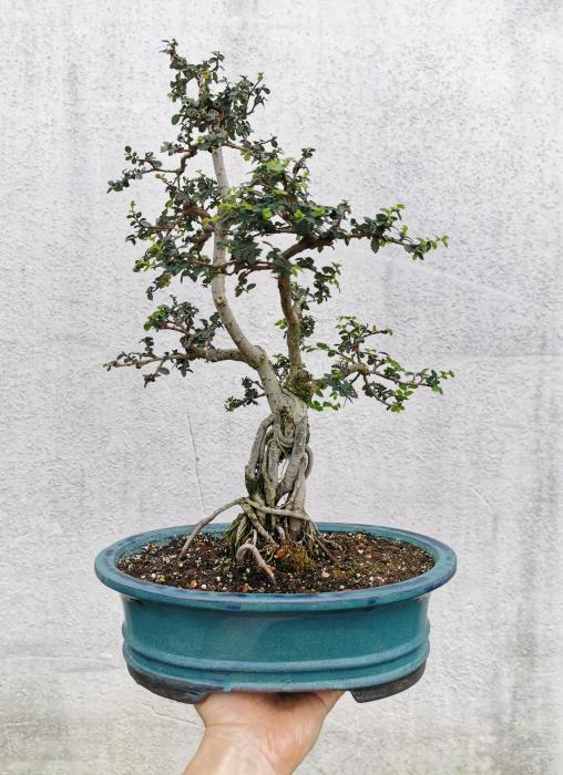 "Chinese Elm Bonsai ""E"""