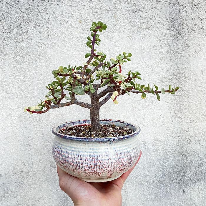 "Variegated Jade Bonsai ""L"""