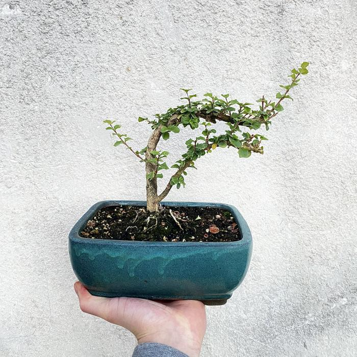 "Holly Bonsai ""M"""