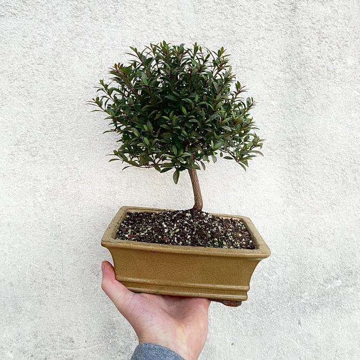 "Eugenia Bonsai ""N"""